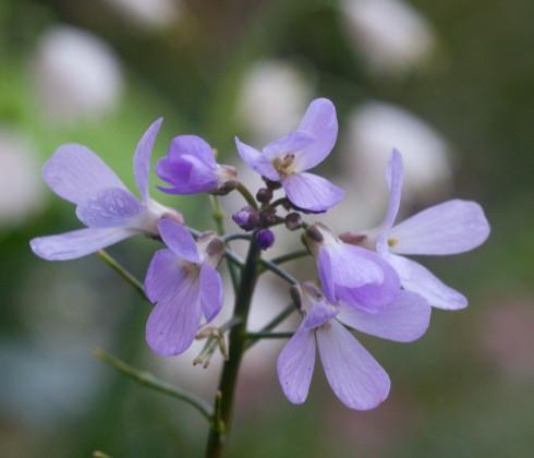 Cardimine quinquefolia