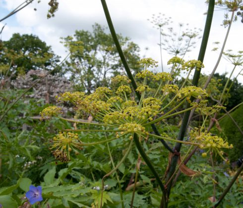 Parsnip flower at Great Dixter