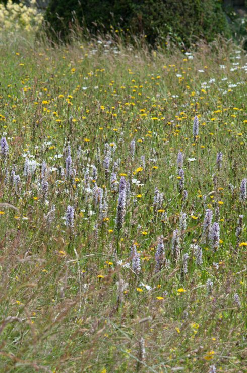Wildflower meadows at Great Dixter with orchids and Hay rattle and knapweed