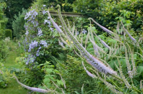veronicastrum-and-clematis-at-bryans-ground-upright