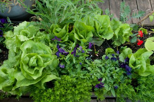 lettuces-on-wendy-shillams-rooftop